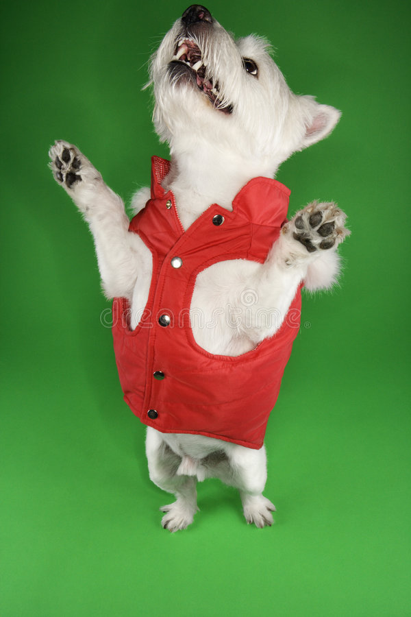 White terrier in a red outfit. royalty free stock image