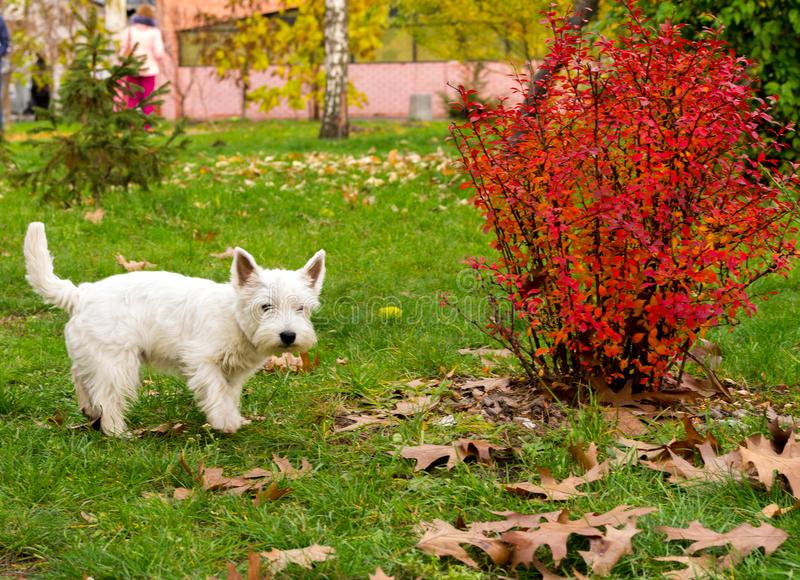 A white terrier walks through the park. A homely white terrier. Walking the dog royalty free stock photos