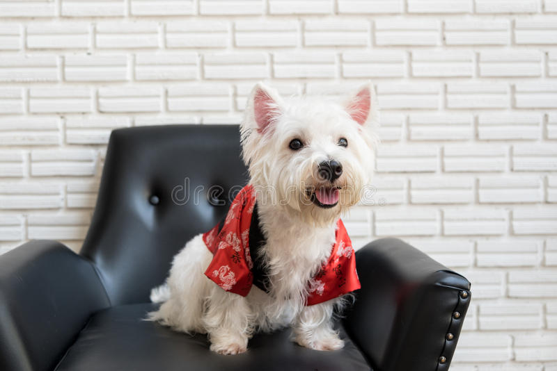 White terrier, westie highland dog. White terrier or westie highland dog sitting on a black chair and smiling stock image