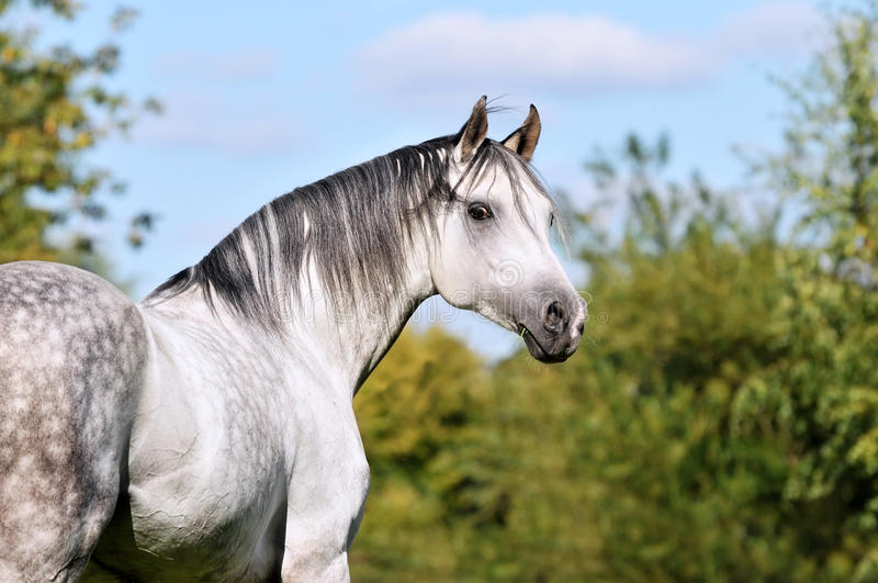 White Tersk horse portrait in summer. Time royalty free stock photo