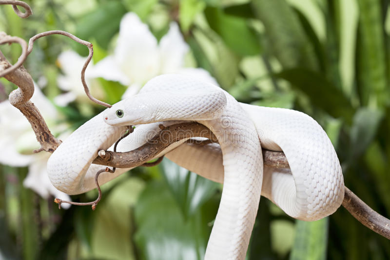 Download White Texas rat snake stock image. Image of jungle, nobody - 28993157