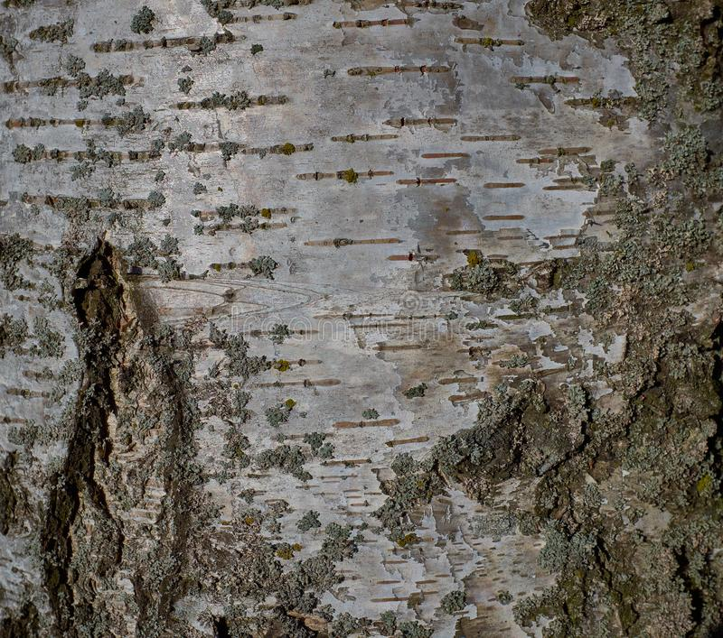 White texture of birch bark tree in park stock images