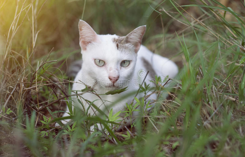 A white thai cat siting among the green grass with blurred background and see to camera , selective focus, filtered image. Light effect added stock images