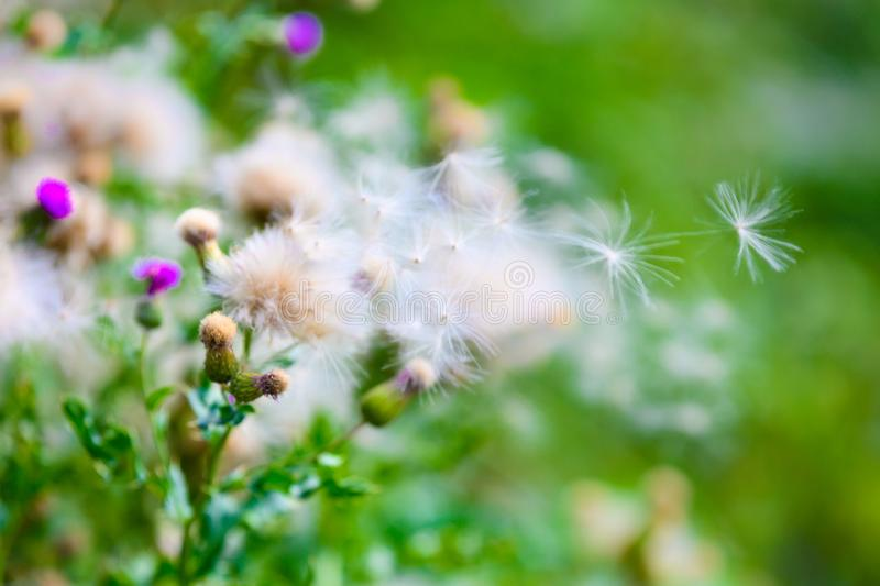 Flowering violet and withered white thistle with flying seed pod. White dried thistles with fluffy weed flowers. royalty free stock images