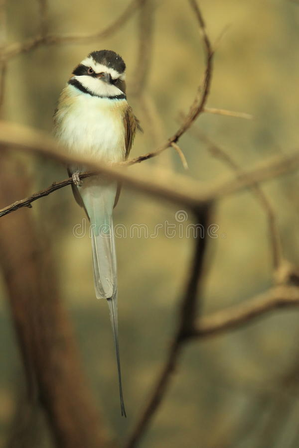 Download White-throated bee-eater stock photo. Image of sitting - 26843140