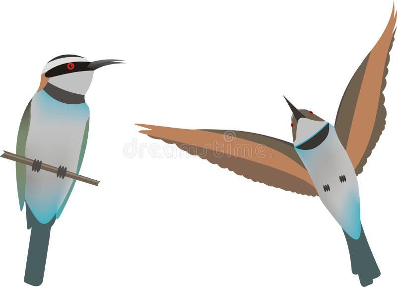 White throated bee eaters (Merops albicollis. Illustration of two White throated bee eaters (Merops albicollis vector illustration