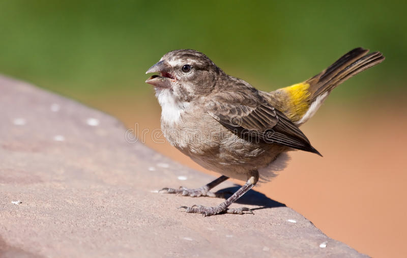 Download White-throated Canary Stock Images - Image: 12824584
