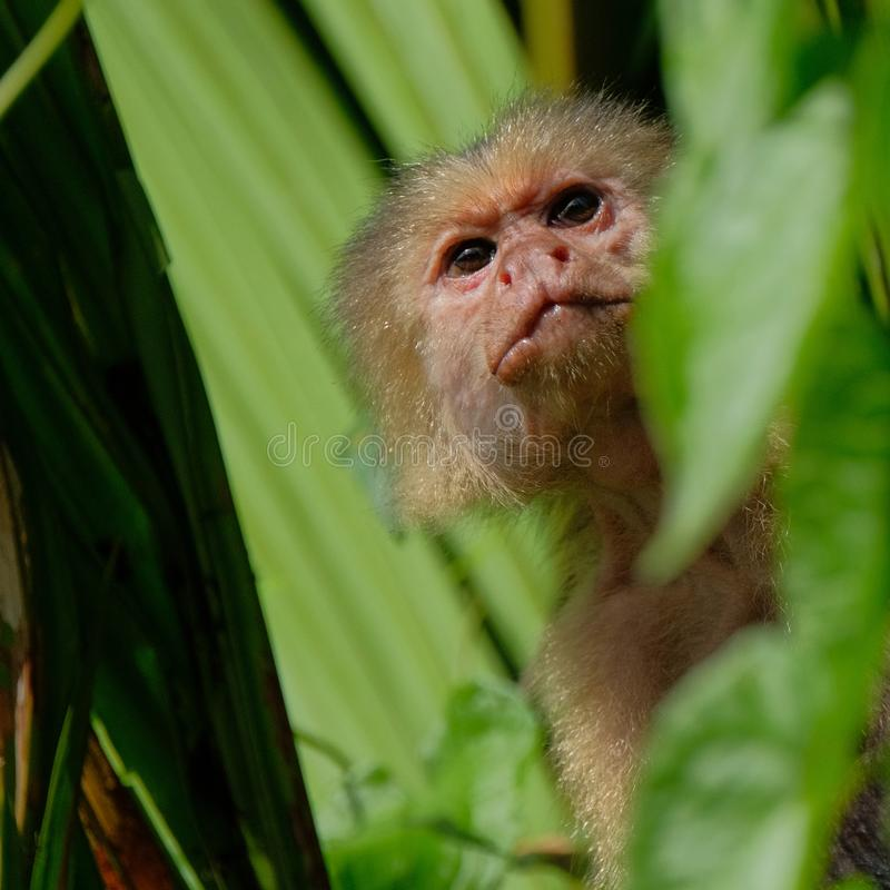 White throated capuchin behind leaves stock images