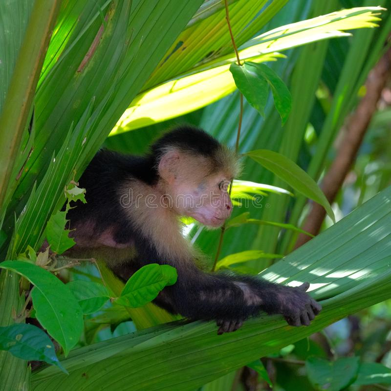 White throated capuchin behind leaves royalty free stock image