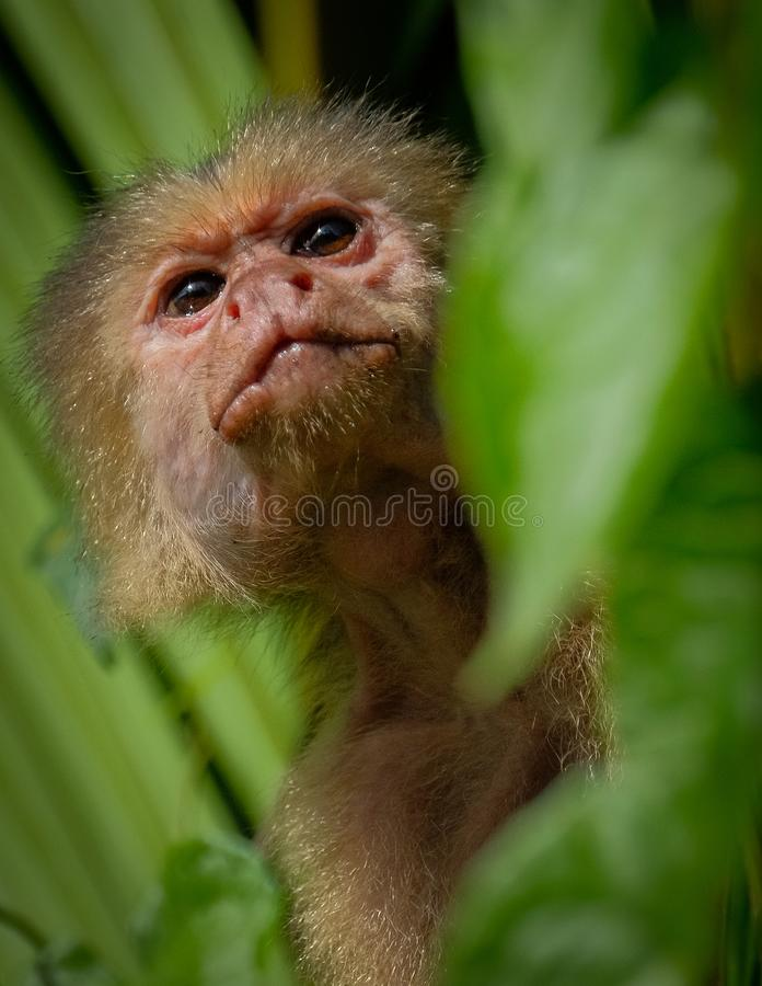 White throated capuchin behind leaves royalty free stock photos