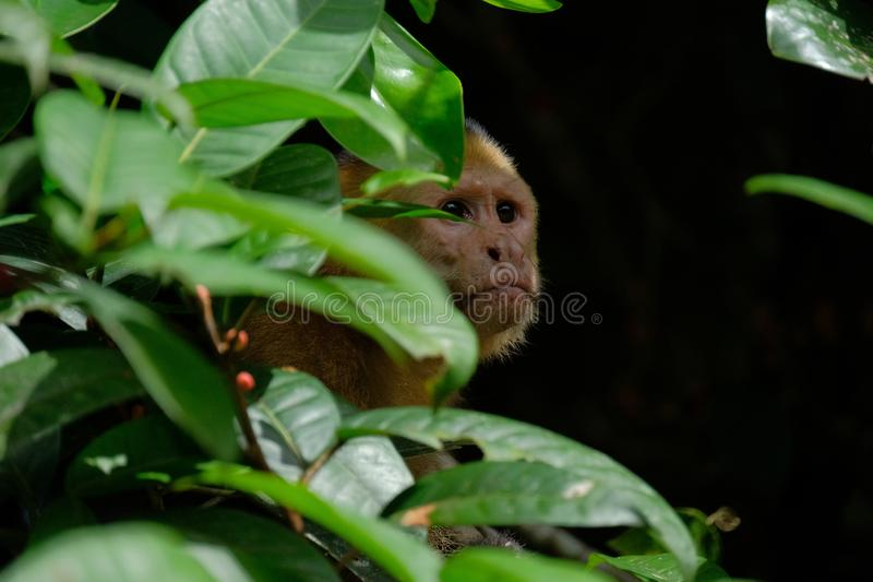 White throated capuchin behind leaves stock photography