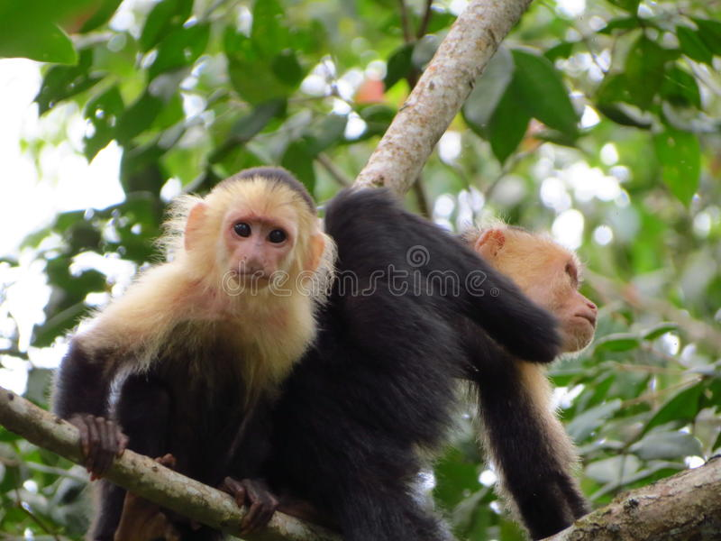 White Throated Capuchin editorial photography  Image of
