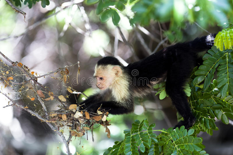 White-Throated Capuchin Monkey in Palo Verde National Park royalty free stock photography