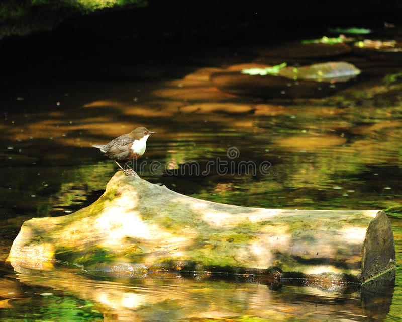 White Throated Dipper royalty free stock photography