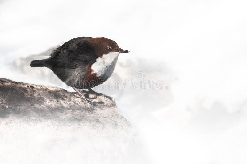 White-throated dipper Cinclus cinclus, beautiful bird from brooks in Europe and Asia - Lombardy, Italy stock images