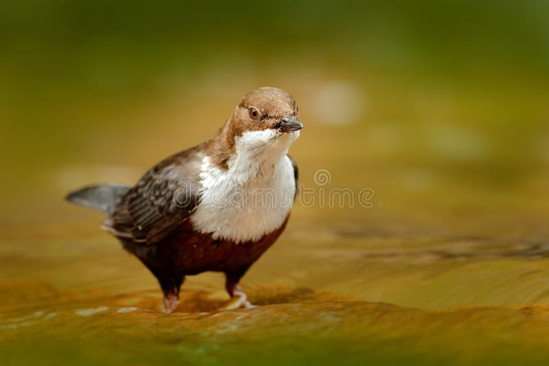 White-throated Dipper, Cinclus cinclus, brown bird with white throat in the river, waterfall in the background, animal behavior in. The nature habitat, with stock images