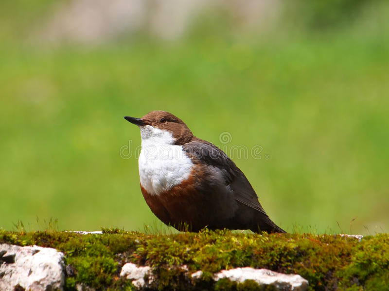 The White-throated Dipper (Cinclus cinclus),. Also known as the European Dipper or Dipper royalty free stock photo