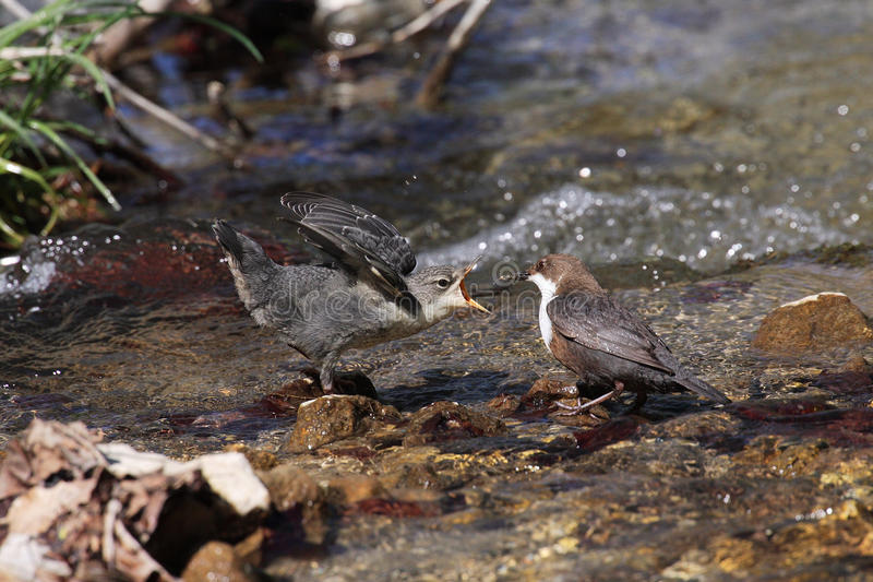 The White-throated Dipper - Cinclus cinclus. A male of White-throated Dipper ( Cinclus cinclus) feeding the young cub. The Dipper searches for food under royalty free stock photos