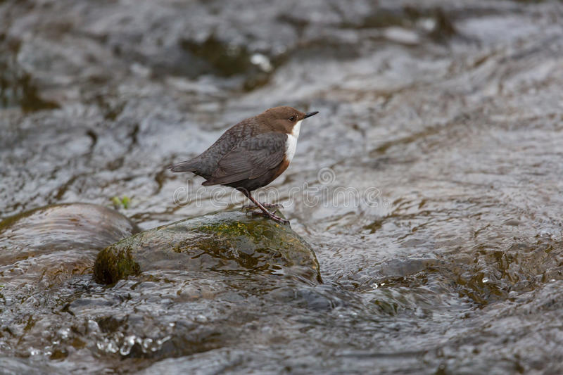 White-throated dipper (Cinclus cinclus). Standing in a stream royalty free stock photos