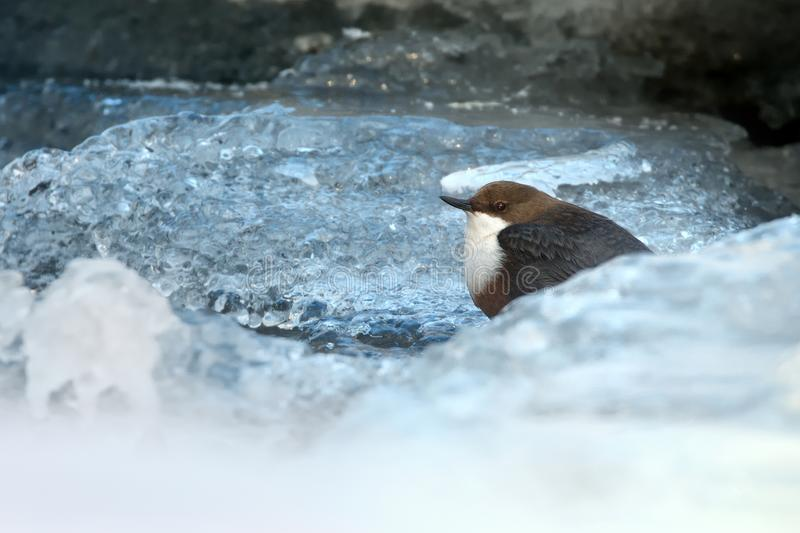 White-throated Dipper - Cinclus cinclus. In winter stock image