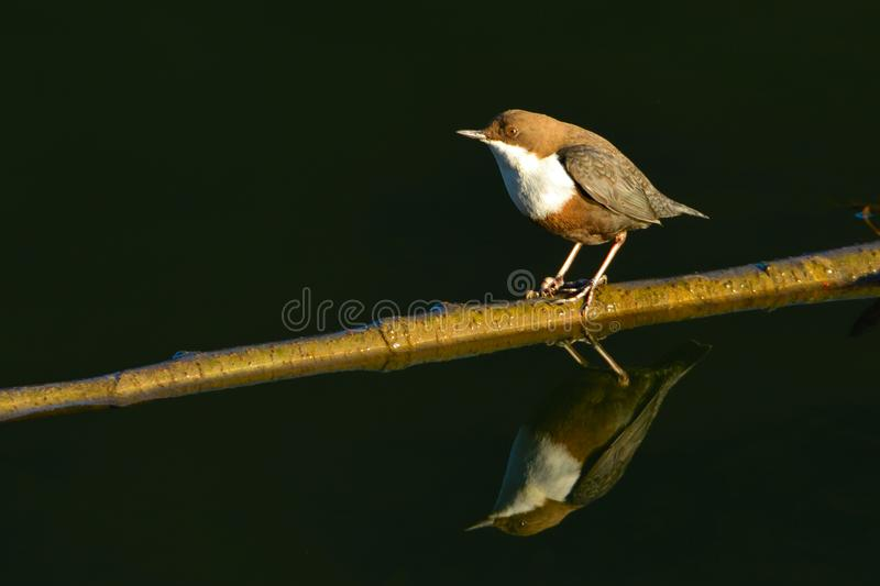 White-throated dipper & x28;Cinclus cinclus& x29;. On a Stick stock photography
