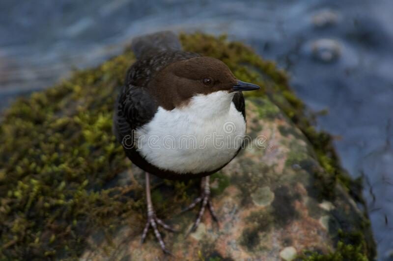 White throated dipper on the west coast in Sweden royalty free stock photo