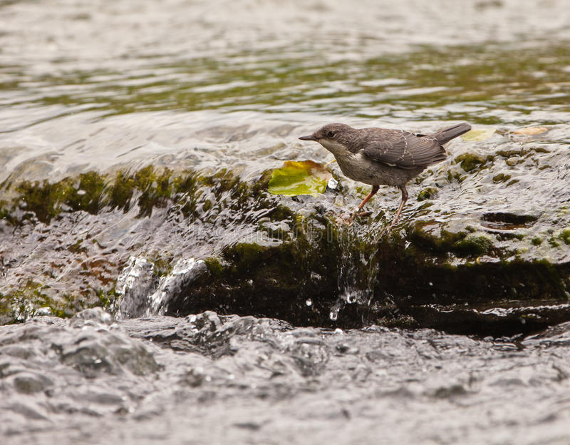 Download White-throated Dipper Keeping The Balance Stock Photo - Image: 20781160