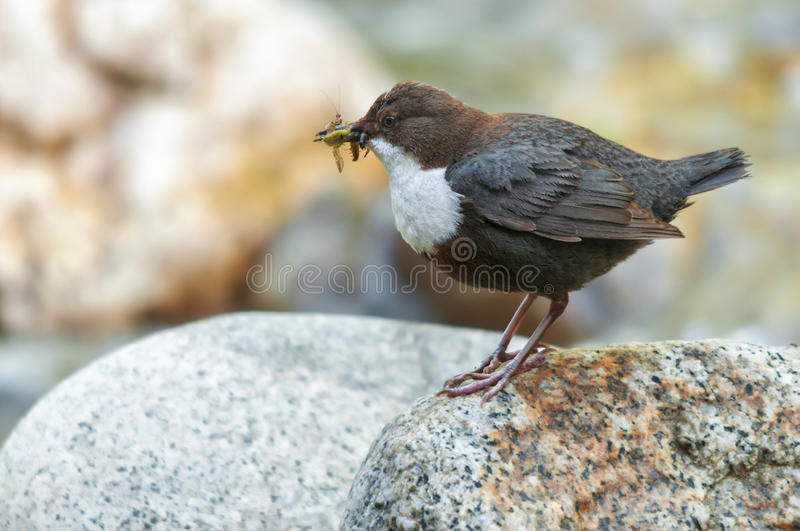White-throated dipper on a rock holding insects in its bill. A white-throated dipper (Cinclus cinclus) standing on a rock and having gathered insects in its bill royalty free stock photography