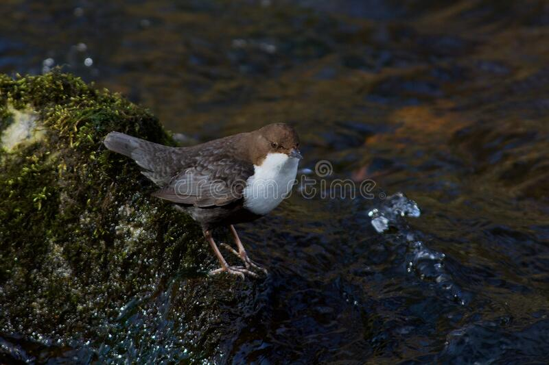 White throated dipper on the west coast in Sweden royalty free stock photography