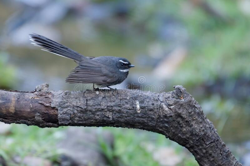 White-throated fantail, Birds of Himalaya stock images