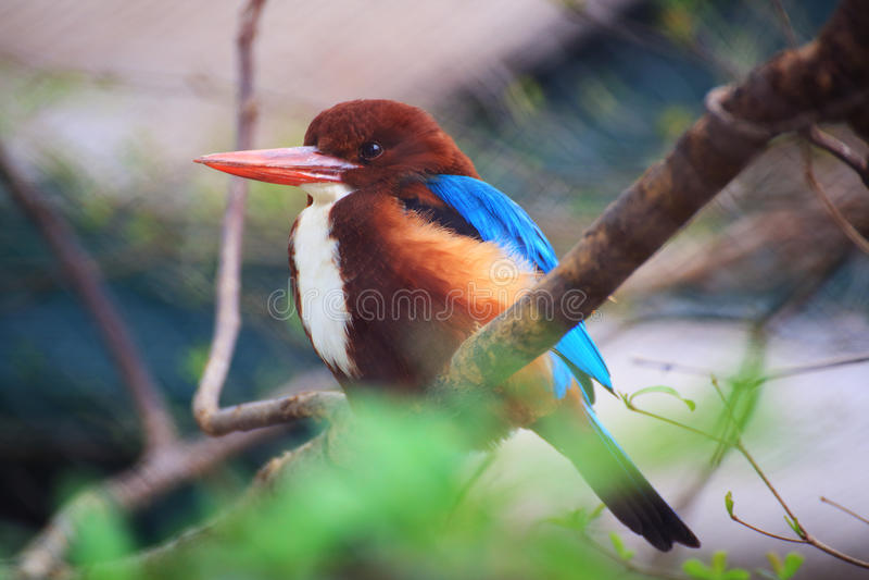 White throated kingfisher stock photo