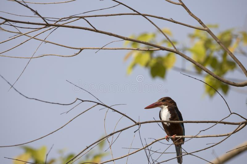 The white-throated kingfisher also known as white-breasted kingfisher perching on the branch looking for prey stock images