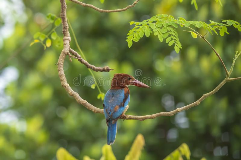 White-throated Kingfisher Halcyon smyrnensis royalty free stock photos