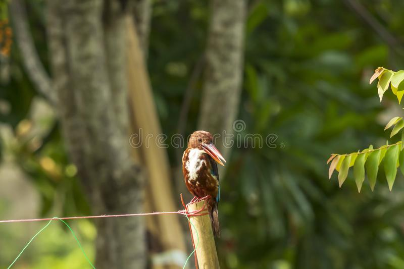 White-throated Kingfisher Halcyon smyrnensis stock image