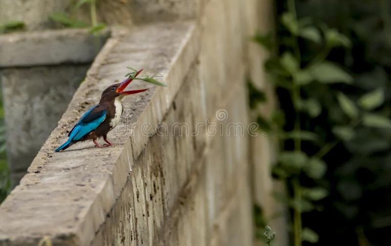 White Throated kingfisher With praying mantis catch. The white-throated kingfisher trying to toss and swallow a praying mantis royalty free stock images