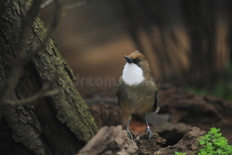 Download White-throated Laughingthrush Stock Photo - Image: 27986294