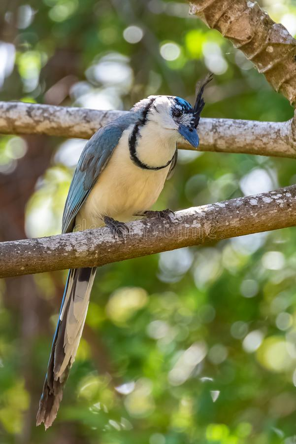 White-throated magpie-jay, bird. White-throated magpie-jay, Calocitta formosa, exotic bird perched on a branch in Costa Rica stock image