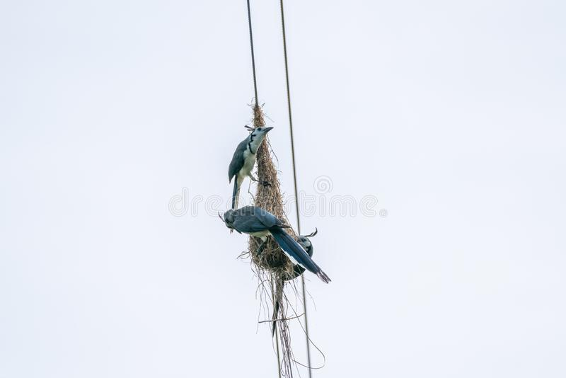 White-throated Magpie-Jay & x28;Calocitta formosa& x29; in Costa  Rica. Bird, birds, corvidae, nature, animal, animals, avian, blue, central, america, color stock image