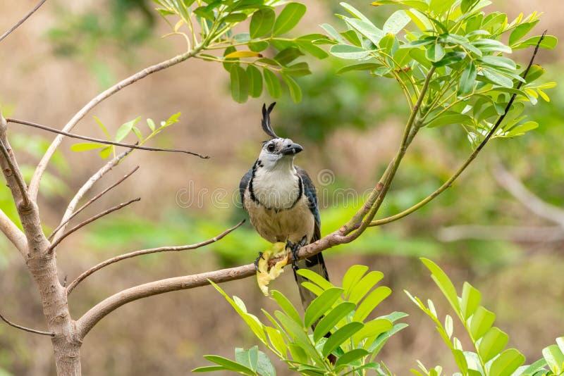 White-throated Magpie-Jay & x28;Calocitta formosa& x29; in Costa  Rica. Bird, birds, corvidae, nature, animal, animals, avian, blue, central, america, color stock photography