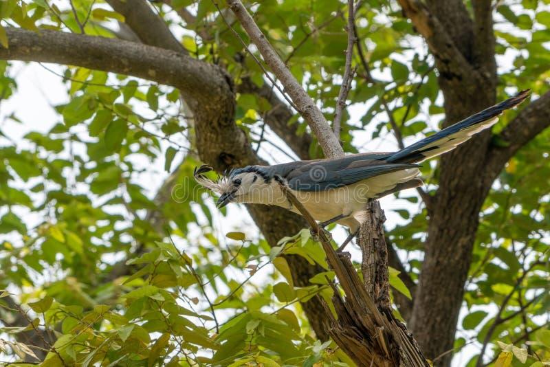 White-throated Magpie-Jay (Calocitta formosa) in Costa  Rica. Bird, birds, corvidae, nature, animal, animals, avian, blue, central, america, color stock photo