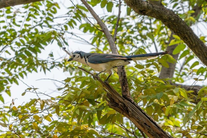 White-throated Magpie-Jay & x28;Calocitta formosa& x29; in Costa  Rica. Bird, birds, corvidae, nature, animal, animals, avian, blue, central, america, color royalty free stock photos