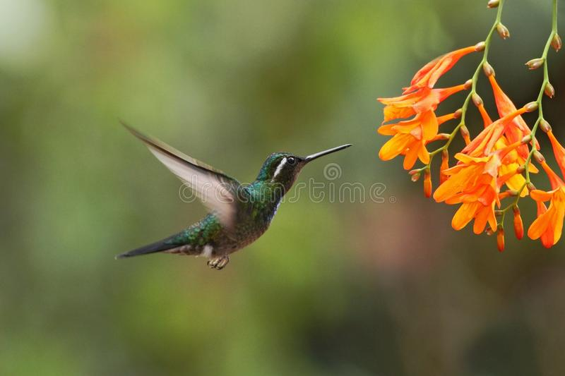 White-throated Mountaingem - Lampornis castaneoventris hovering next to orange flower, bird from mountain tropical forest. Waterfall Gardens La Paz, Costa Rica royalty free stock photos