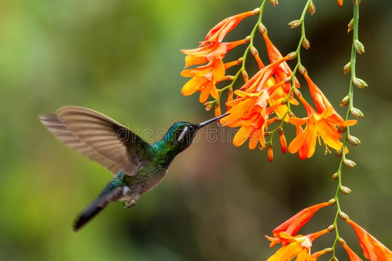 White-throated Mountaingem - Lampornis castaneoventris hovering next to orange flower, bird from mountain tropical forest. Waterfall Gardens La Paz, Costa Rica stock photo
