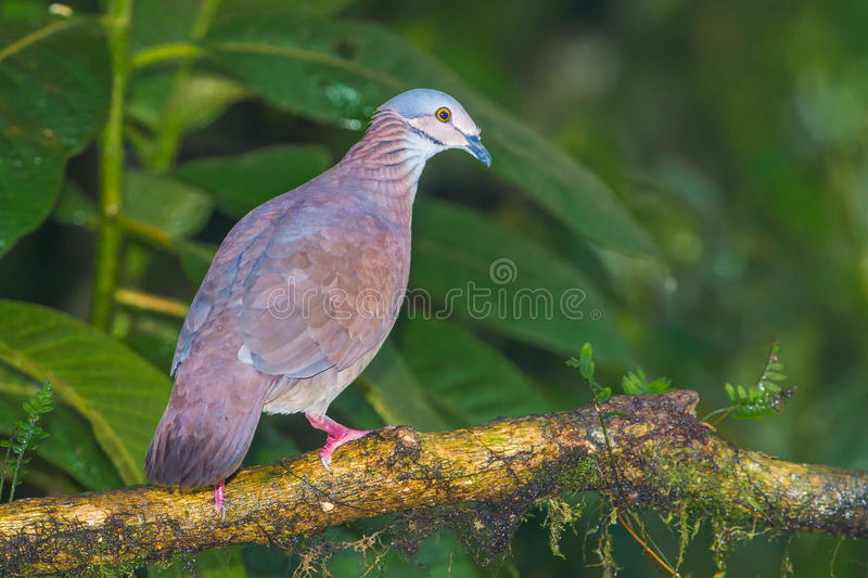 White Throated Quail Dove. Adult White Throated Quail Dove, Perched on Branch, Tandayapa Bird Lodge, Ecuador royalty free stock image