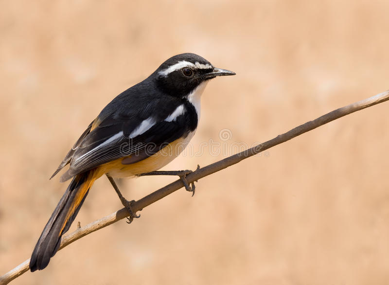 Download White Throated Robin Stock Photo - Image: 19709790