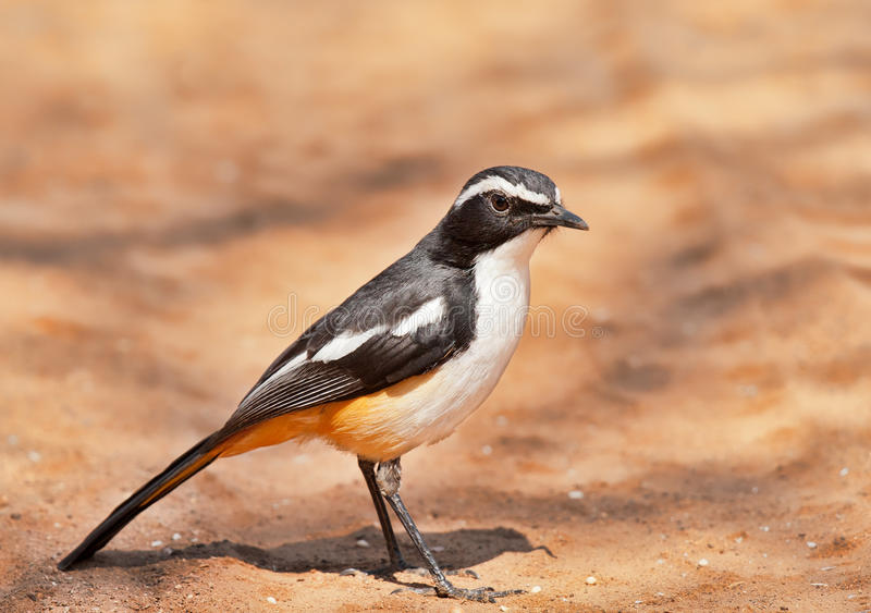 Download White Throated Robin Chat Stock Images - Image: 22908384