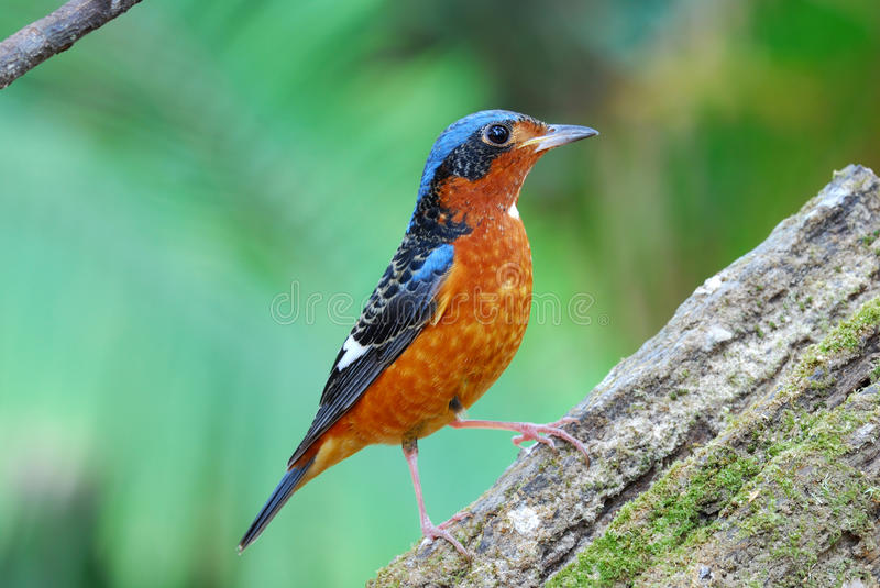 Download White-throated rock-thrush stock photo. Image of tropical - 19312586
