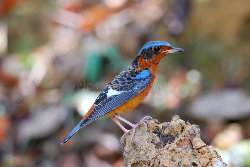 Download White-throated rock-thrush stock photo. Image of natural - 20069414
