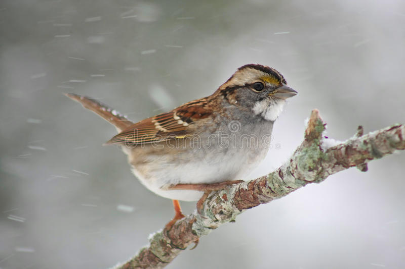 Download White Throated Sparrow Stock Images - Image: 19584624