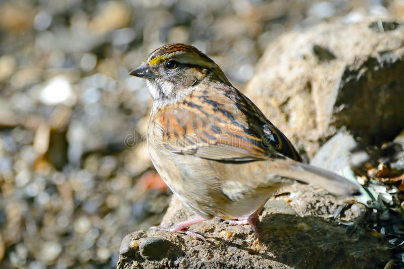 Download White-Throated Sparrow Royalty Free Stock Image - Image: 21916256